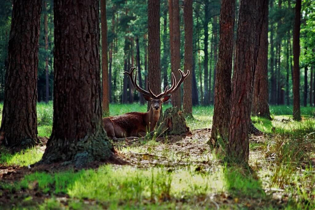 Deer in the Bialowieza Forest, Belarusian National Park