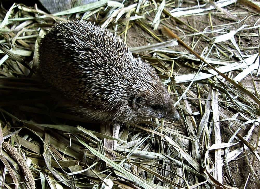 forest hedgehog on a hay in Zarechie