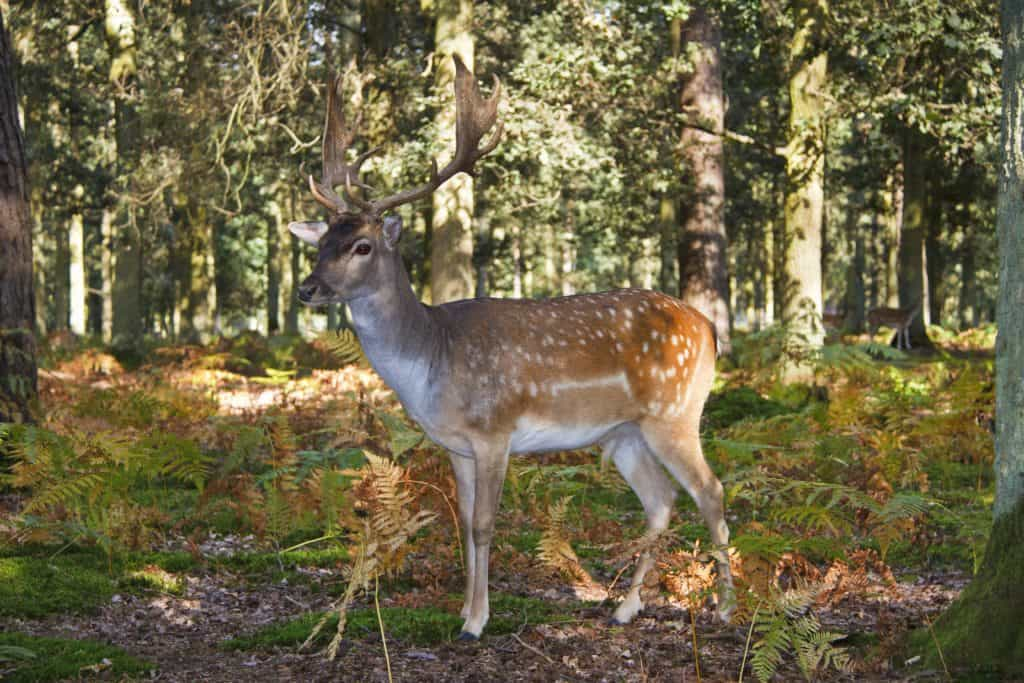 Deer in the forest, Belarus hunting