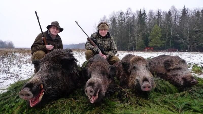 hunters with wild boars in Belarusian hunting farm