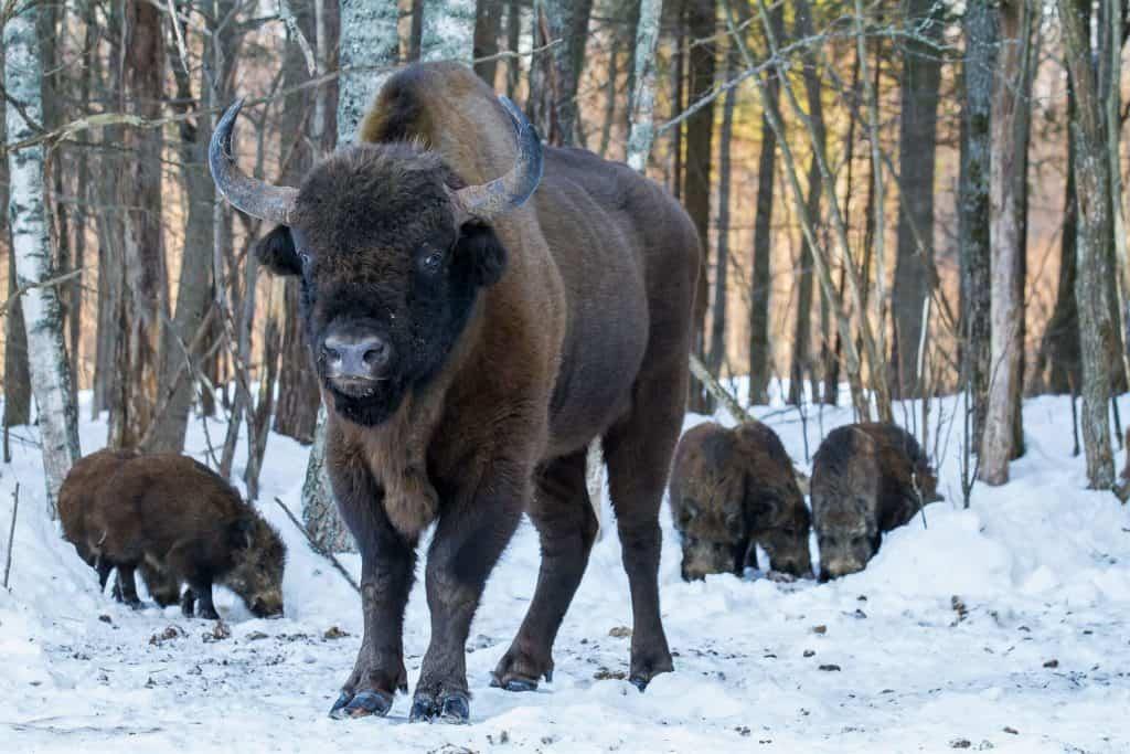 Зубр на снегу, все об охоте в Беларуси