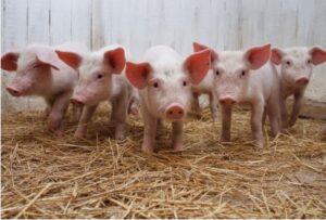 разведение свиней в Беларуси