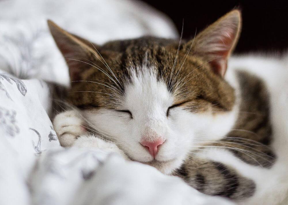 Sleeping Cat in the cat museum in minsk