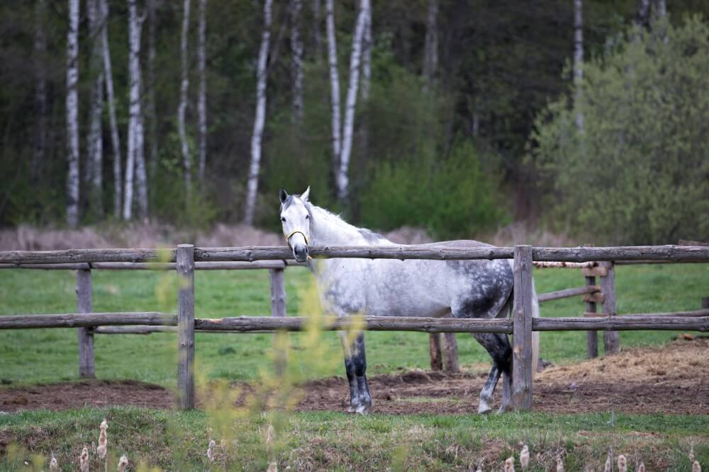 white horse outdoors in the nature between trees in Belarus countryside